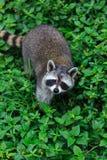 Le jeu de raton laveur à l'arrière-plan d'herbe Photo libre de droits