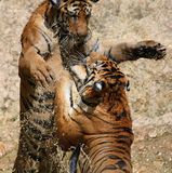 Le jeu les grands tigres dans le lac, Thaïlande Photos stock