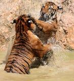 Le jeu les grands tigres, Thaïlande Images stock