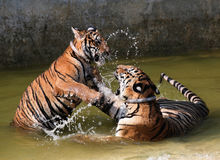 Le jeu les jeunes tigres dans le lac, Thaïlande Photographie stock libre de droits