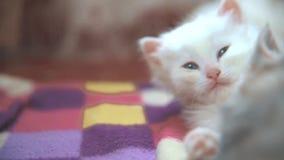 Le jeu visuel drôle de chatons de chats des blancs deux dorment sur se trouver sur le lit deux chatons combattent avec à l'intéri banque de vidéos
