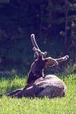 Le jeune élan de Taureau se reposant à la nuance au stimulant tombe pré en parc national de Yellowstone au Wyoming Etats-Unis Photos libres de droits