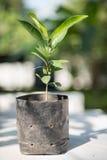 Le jeune arbre de l'elengi de Mimusops pour l'usine, bois de balle, Mimusops elen Images libres de droits