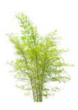 Jeune arbre en bambou Images libres de droits