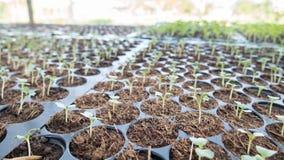 le jeune bébé plante l'élevage dans l'ordre de germination sur le soi fertile Photo libre de droits