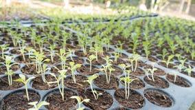 le jeune bébé plante l'élevage dans l'ordre de germination sur le soi fertile Photos libres de droits