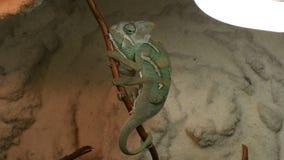 Le jeune caméléon vert change sa peau banque de vidéos
