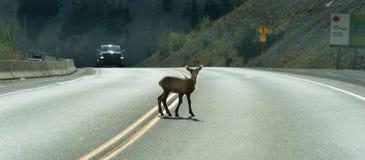 Le jeune cerf commun marche à travers la route sur une courbe aveugle Images stock