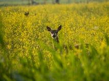 Le jeune cerf commun rouge femelle regarde fixement l'appareil-photo Images libres de droits