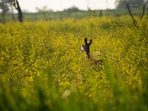 Le jeune cerf commun rouge femelle regarde fixement l'appareil-photo Image stock
