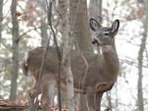 Le jeune cerf commun sauvage recherche le danger Image stock