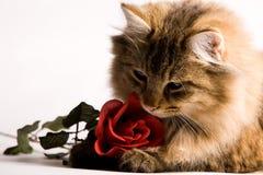 Le jeune chat avec un rouge s'est levé Images stock