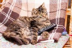 Le jeune chat rayé se repose dans une chaise et tient l'extérieur pour commuter des programmes de TV photographie stock