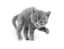Le jeune chat sont en position de défense et préparent pour attaquer Image libre de droits