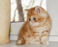 Le jeune chaton rouge de la race que le frisson-chercheur se repose à une fenêtre Images stock
