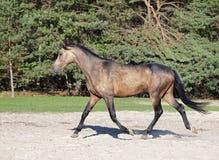 Le jeune cheval brun grisâtre trotte sur une clairière Photographie stock