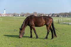 Le jeune cheval qui est frôlé sur un pré d'été photo stock
