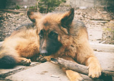 Le jeune chien de berger allemand pelucheux rouge joue avec le bâton dans la cour Jeux avec l'animal familier extérieur Image libre de droits