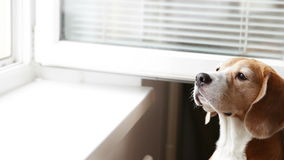Le jeune chien de briquet renifle des odeurs de rue et veut marcher banque de vidéos