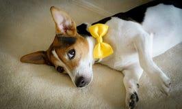 Le jeune chien se trouvant sur le lit avec le jaune a attaché l'arc Image stock