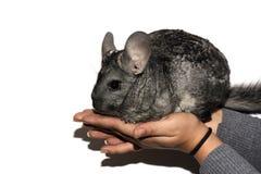 Le jeune chinchilla gris sur des mains d'isolement sur le fond blanc photo libre de droits