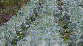 Le jeune chou se développe dans l'agriculteur Field clips vidéos