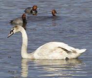 Le jeune cygne et les canards roux Photographie stock