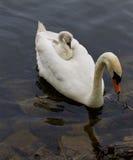 Le jeune cygne monte au dos de son mère-cygne Photo libre de droits