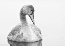 Le jeune cygne regarde fixement l'eau lisse en noir et blanc photo stock