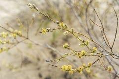 Le jeune et frais arbre part de la floraison au printemps temps, Pologne Photographie stock