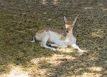 Le jeune faon dans une tache blanche se trouve sur l'herbe souriant à la nuance Images stock