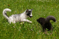 Le jeune Fox argenté et le Fox de marbre (vulpes de Vulpes) jouent dans le Gras Image stock