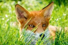Le jeune Fox rouge s'est reposé en miroitant l'herbe verte avec les yeux ambres Image stock