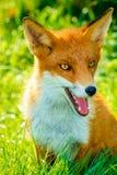 Le jeune Fox rouge s'est reposé en miroitant l'herbe verte avec les yeux ambres et la bouche ouverte Photos stock