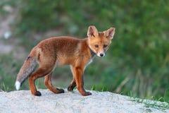 Le jeune Fox rouge se tient près de son terrier photos stock