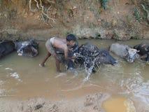 Le jeune garçon lave son buffle d'eau Photo stock