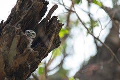 Le jeune hibou repéré, brama d'Athene, a repéré le jeune hibou, oiseau, oiseau d'Asie du Sud-Est, jeune hibou Photographie stock libre de droits