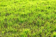 Le jeune hiver vert de blé cultive le fond de champ ensoleillé et vibrant Photo libre de droits