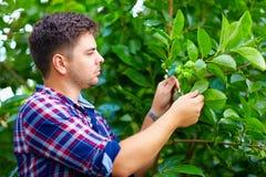 Le jeune homme entretient l'arbre de kaki dans le jardin de fruit Images stock
