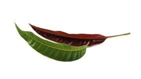 Le jeune laisse la mangue et les feuilles de mangue Photos libres de droits