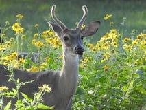 Le jeune mâle Blanc-a coupé la queue des cerfs communs se tenant en fleurs jaunes photographie stock libre de droits
