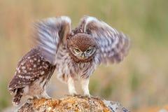 Le jeune noctua d'Athene de petit hibou agite ses ailes tout en se tenant sur la roche images stock