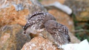 Le jeune noctua d'Athene du petit hibou deux se tient sur une pierre et a nettoyé clips vidéos
