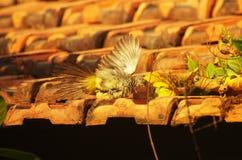 Le jeune oiseau attrapant une proie, écartant s'envole Photos libres de droits