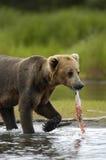 Le jeune ours brun avec saumoné reste Images libres de droits