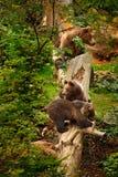 Le jeune ours deux brun a perdu dans le portrait de forêt de l'ours brun, se reposant sur l'arbre vert, animal dans l'habitat de  Photos libres de droits