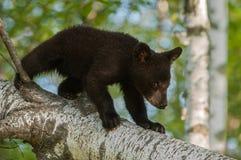 Le jeune ours noir (Ursus américanus) descend la branche Photographie stock
