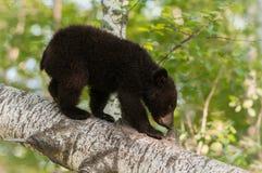 Le jeune ours noir (Ursus américanus) renifle la souche de branche Photographie stock libre de droits