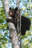 Le jeune ours noir (Ursus américanus) s'accroche à l'arbre Image libre de droits