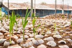 Le jeune parfum de noix de coco dans l'élevage de noix de coco cultive dans la conversion Images libres de droits